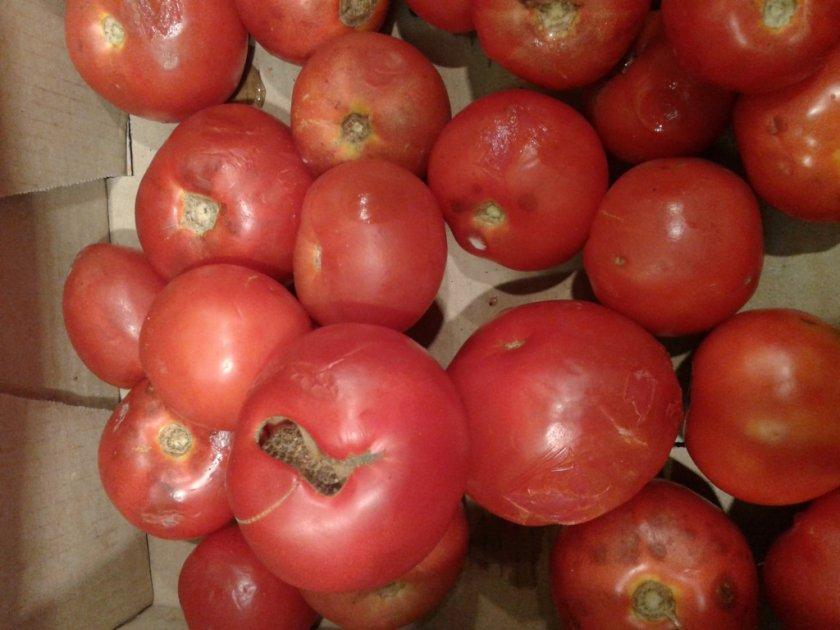 Что делать, если томаты начали портиться