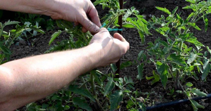 Подвязка помидорного куста