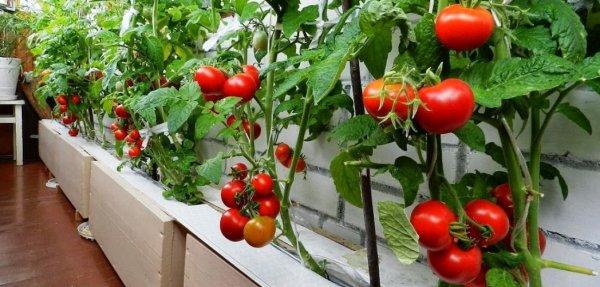 Когда сажать комнатные помидоры