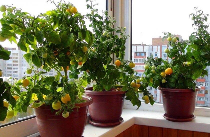 Выращивание томатов дома