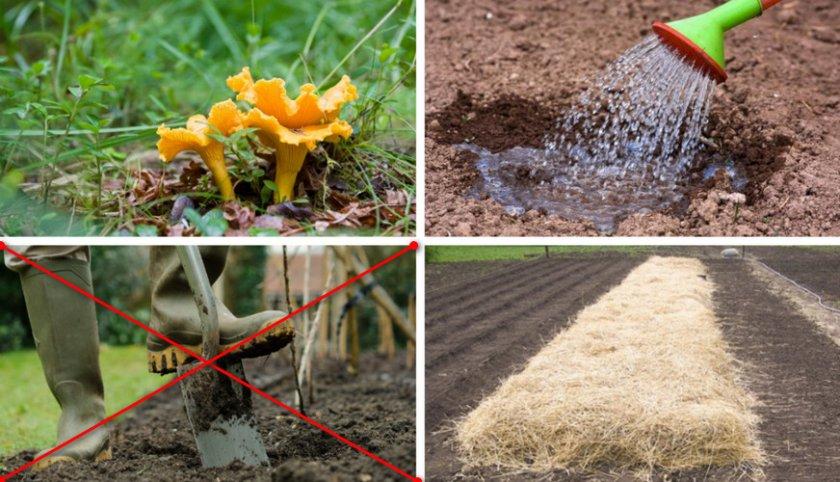 Как выращивают лисички в промышленных масштабах?