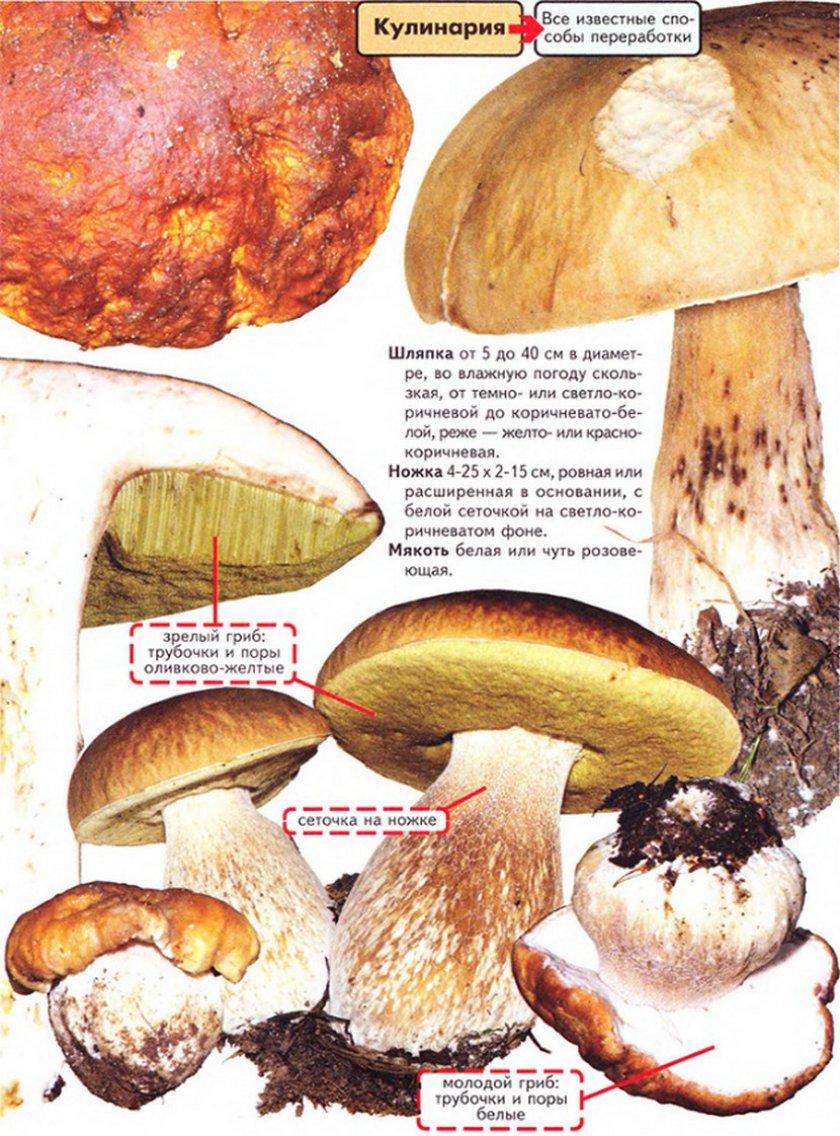 что можно приготовить из ножек белого гриба