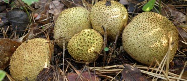 Гриб дождевик: съедобный или нет, как выглядит ложный гриб дождевик? Гриб дождевик: лечебные свойства и как приготовить? Что можно приготовить из гриба дождевика?