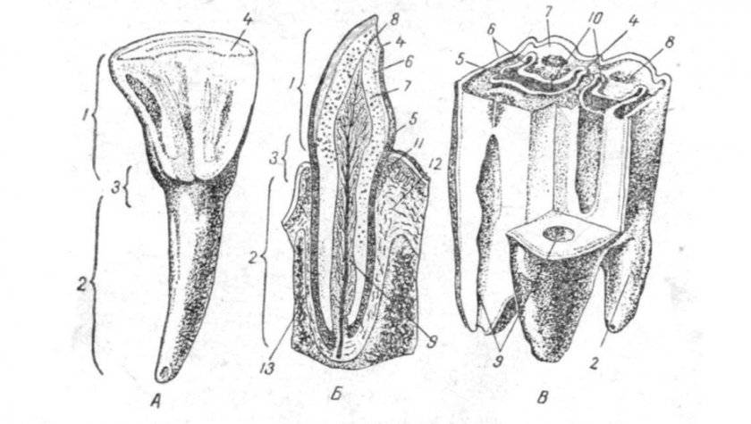 Зубы крупного рогатого скота