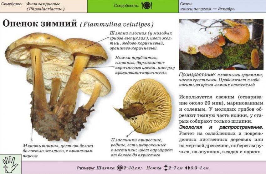 Характеристика гриба опёнок зимний