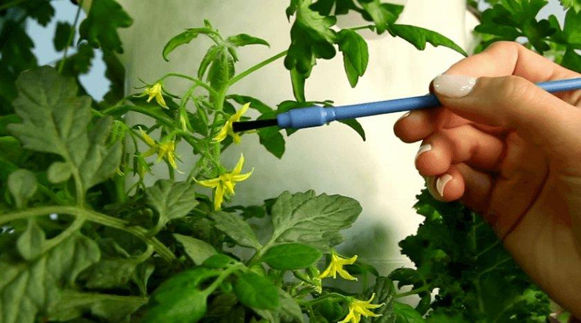 Штучное опыление томатов