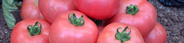 Томат розовый мед (55 фото): характеристика и описание сорта, отзывы о помидорах, видео