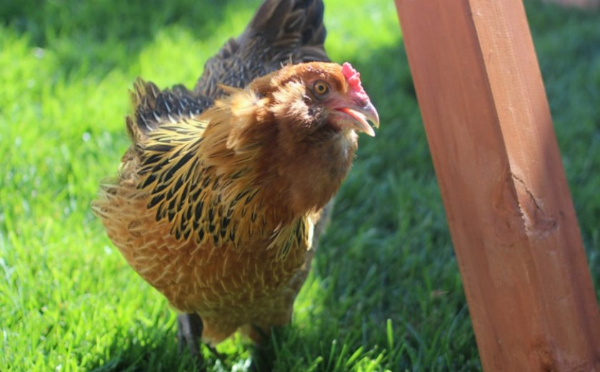 Курица вельзумер