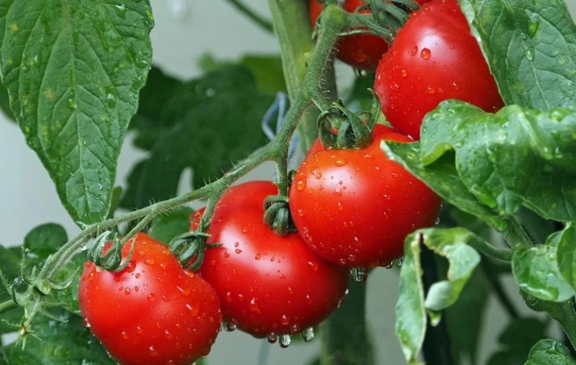 Уксусная обработка томатов