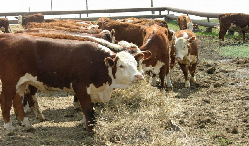 КРС мясо-молочного направления