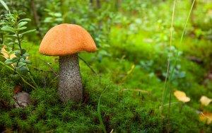 Грибы подосиновики – фото и описание. Как выглядит гриб подосиновик, где растет? Как отличить подосиновик съедобный и ложный: сравнение, признаки отличия. Подосиновики: польза и вред