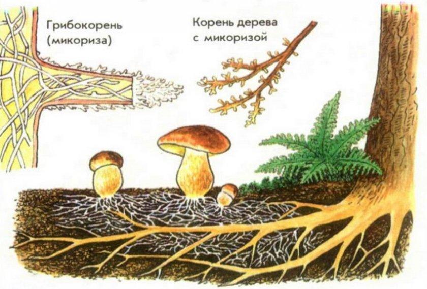 Микориза белого гриба