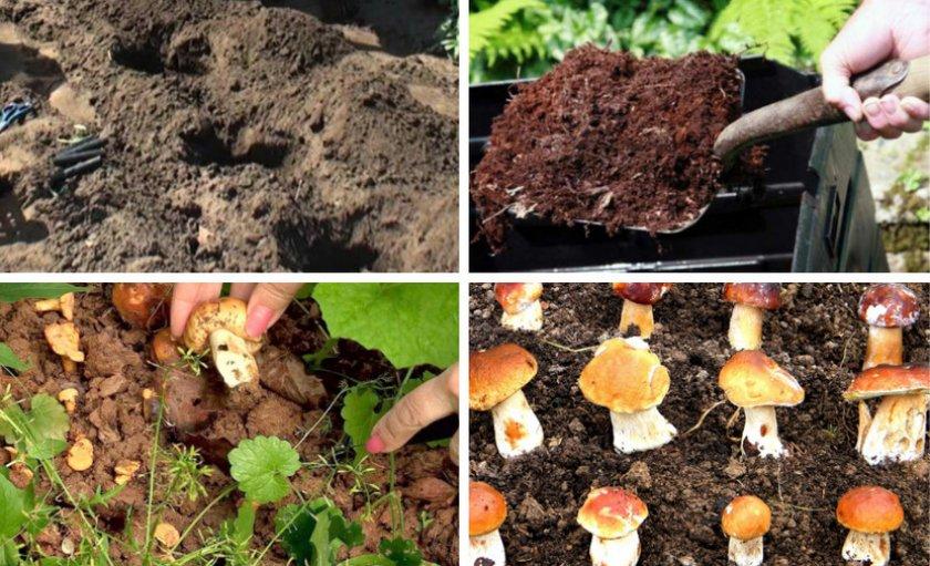 Посадка белых грибов