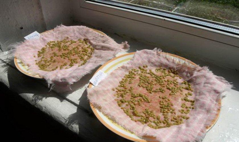 Замачивание семян в растворе марганцовки