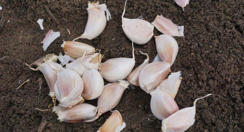 Почва под посадку чеснока