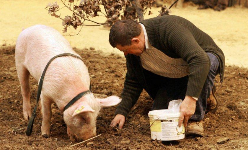 Свиньи ищут трюфели картинки