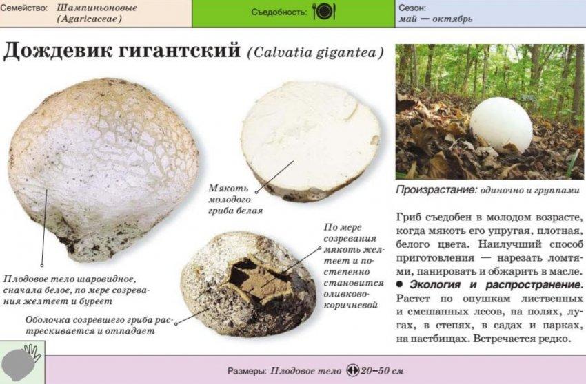 экскаваторщик рассказал, грибы беларуси съедобные и их описание фото мужские