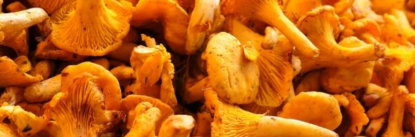 Можно ли есть сырыми грибы лисички: польза, вред, сколько штук можно съесть || Ест ли лиса грибы