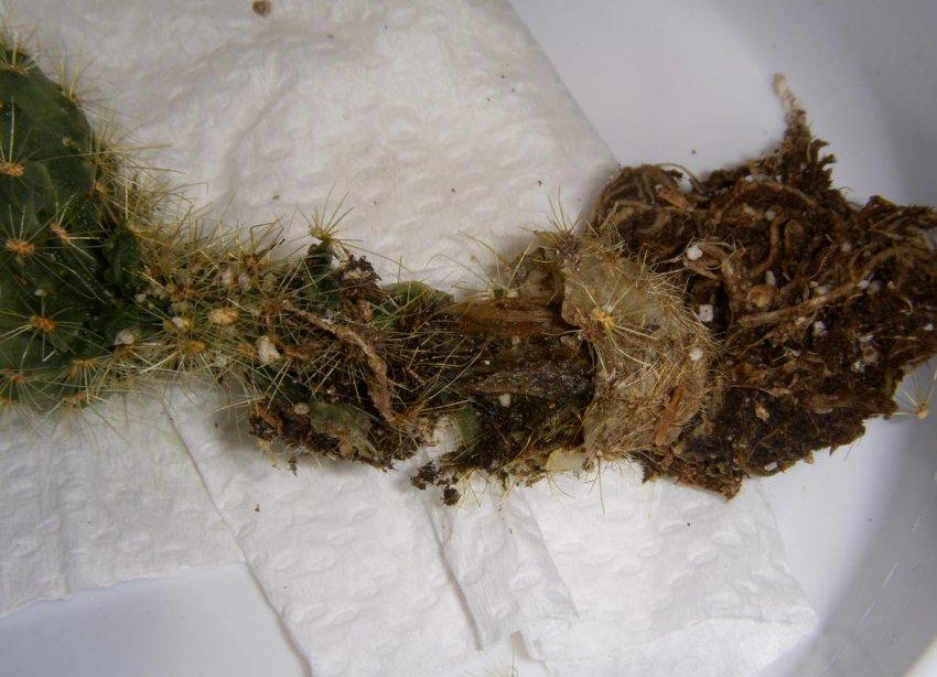 Загнивание корня и стеблей