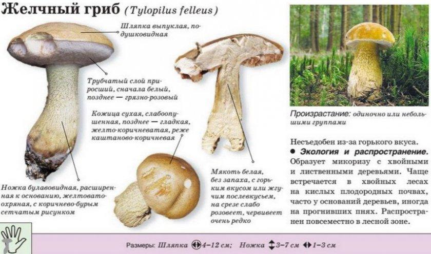 спросом лже белый гриб фото и описание пишут