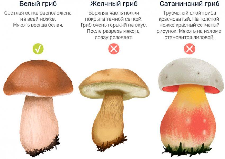 Двойники белого гриба