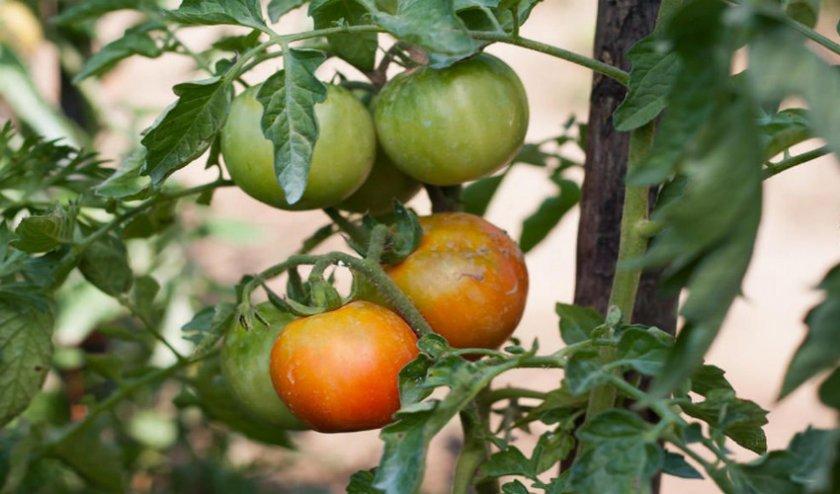 Медленное созревание томатов