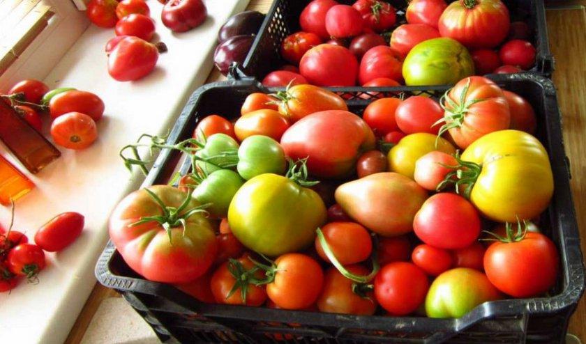 Сорванные помидоры