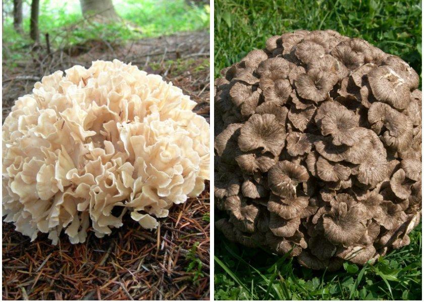 того, гриб баран фото его польза всего