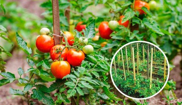 почему в теплице растут мелкие помидоры