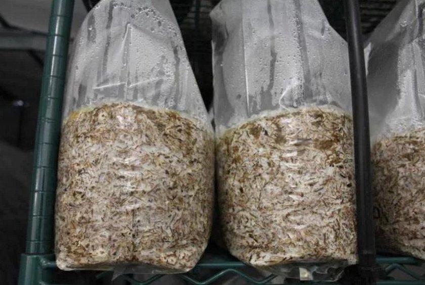 Выращивание промежуточного мицелия