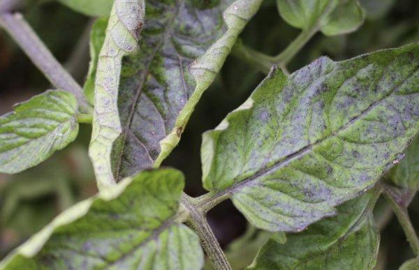 Скручиваются листья у помидоров что делать