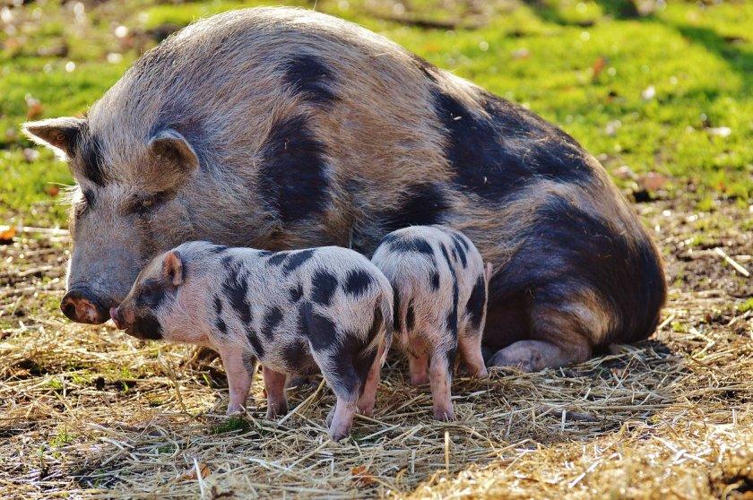 николаев картинки свиней с поросятами тепличных