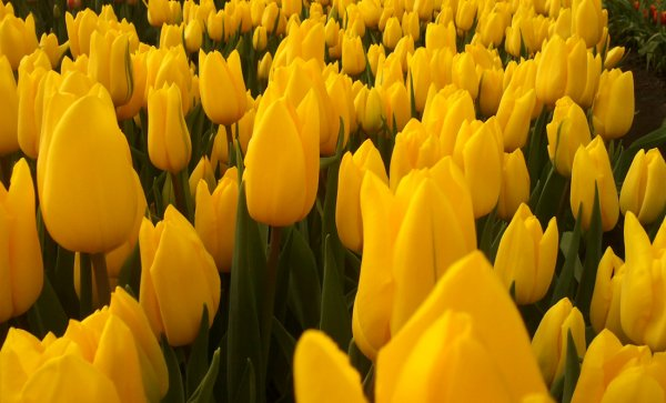Описание и особенности выращивания тюльпана Стронг Голд