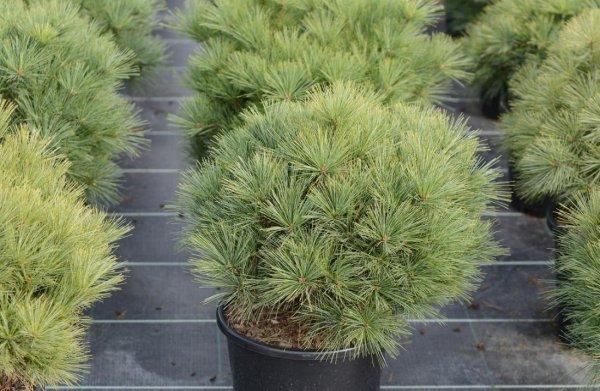 Сосна Веймутова (Pinus Strobus): сорта, уход и размножение сосны Веймутова