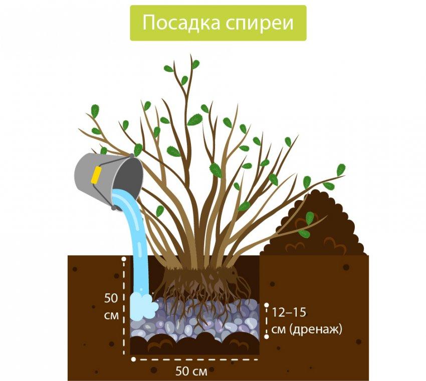 Схема посадки спиреи