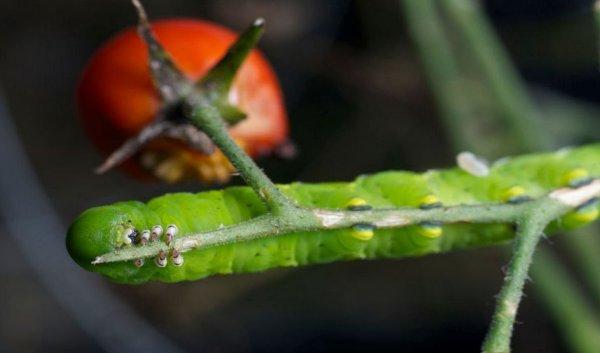 Гусеница которая ест помидоры