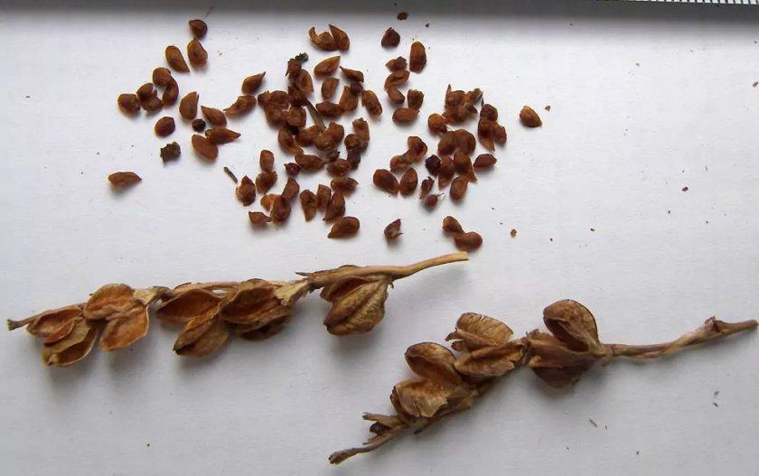 Семена гладиолуса