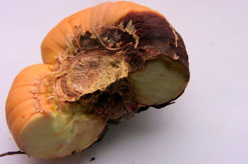 Фузариоз гладиолуса
