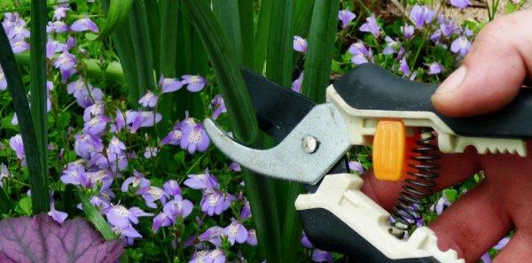 Надо ли обрезать листья ирисов на зиму
