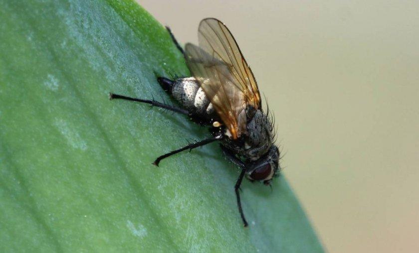 Ирисовая муха