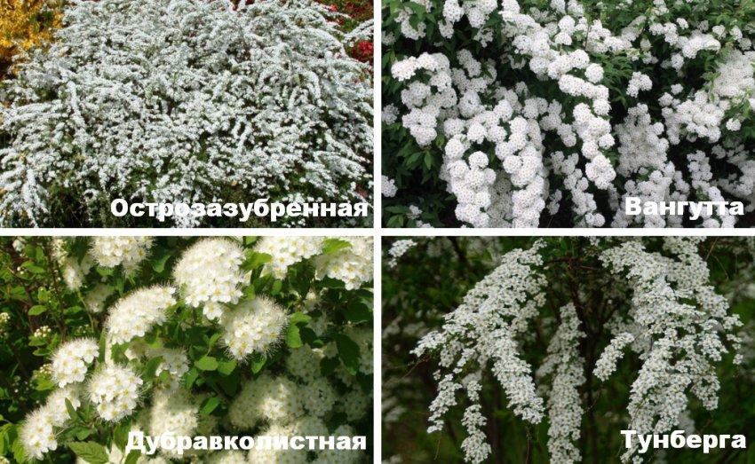 Сорта спиреи цветущие весной