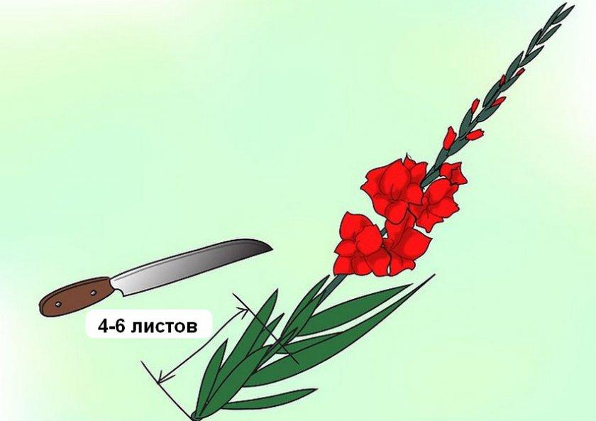 Как правильно срезать гладиолусы