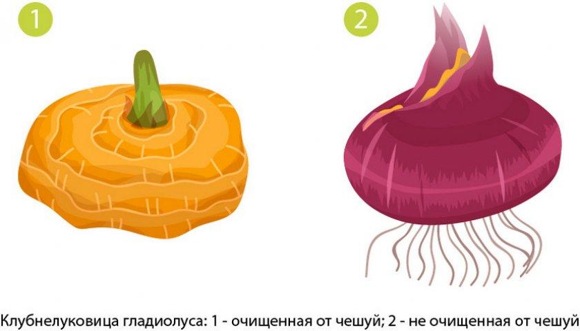 Чешуйчатая и очищенная клубнелуковица гладиолуса
