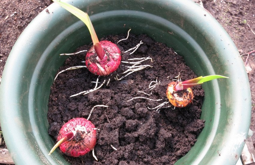 Проращивание гладиолусов в горшке