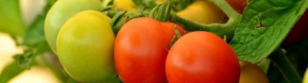 Почему томаты жируют в теплице