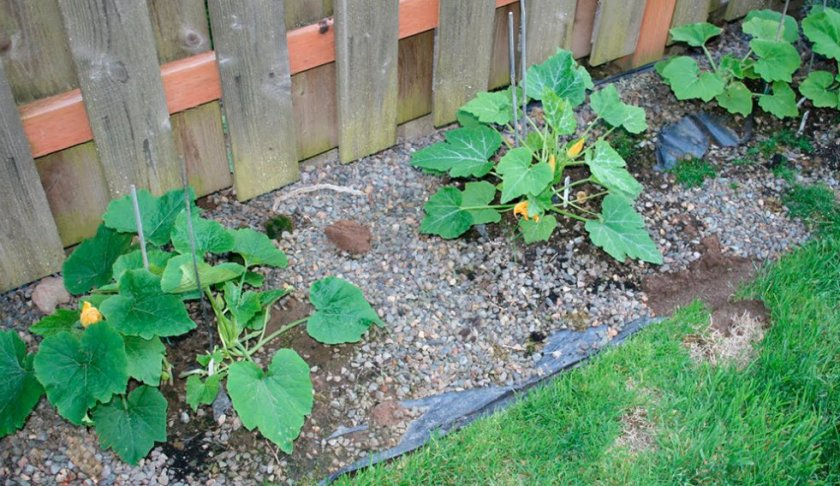 Высадка тыквы под агроволокно