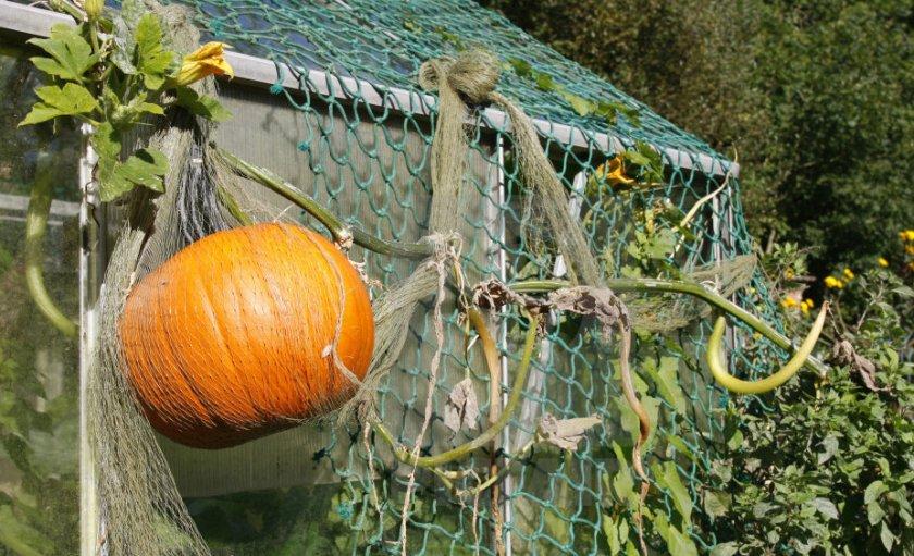 Подвешивание плодов тыквы