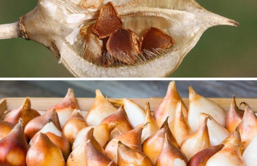 Семена и луковицы тюльпана