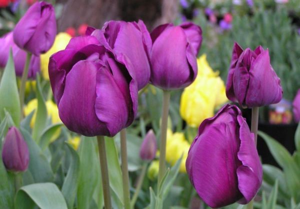 Сорт тюльпана уайт флэг