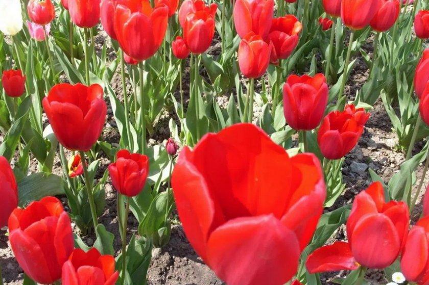 Тюльпаны сорта Olaf